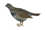 Spruce Grouse Affiche