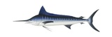 Striped Marlin Poster
