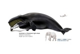 Greenland Right, or Bowhead, Whale (Balaena Mysticetus) Posters