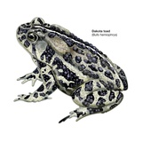 Dakota Toad (Bufo Hemiophrys) Posters