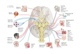 The Human Cranial Nerves and their Areas of Innervation Prints