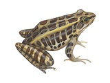 Pickerel Frog Art