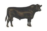 Angus Bull Prints