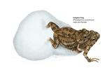 Tungara Frog Prints