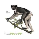 Indri (Indri Indri) Prints