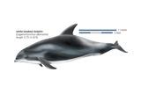 White-Beaked Dolphin (Lagenorhynchus Albirostris) Posters