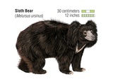 Sloth Bear (Melursus Ursinus) Posters