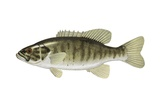 Smallmouth Black Bass Art