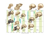 The Increase in Hominin Cranial Capacity Through Various Species over Time Umělecké plakáty