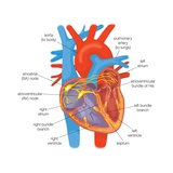 Electrical Conduction in the Heart in Healthy Individuals Is Controlled by Pacemaker Cells Posters