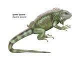 Green Iguana (Iguana Iguana) Posters