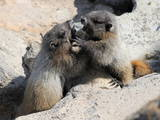 Juvenile Hoary Marmots Wrestling Photographic Print by  randimal