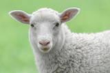 Face of A White Lamb Impressão fotográfica por  stefanholm
