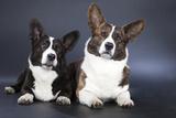 Two Corgi Cardigan Photographic Print by  vivienstock