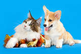 Cat and Dog, Cat Maine Coon and Corgi Puppy Photographic Print by  Lilun