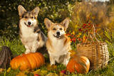 Welsh Corgi Pembroke Dog Photographic Print by  Lilun