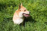 A Welsh Corgi Pembroke Dog in the Grass Prints by  SelenaRus