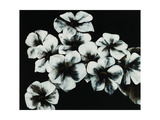 White Flowers Giclee Print by Kari Taylor