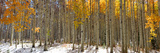 Panoramic View of Aspen Trees in Winter Time Photographic Print by  SNEHITDESIGN