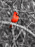 Northern Cardinal Bird on the Branch Prints by  SNEHITDESIGN