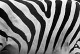 Real Zebra Pattern Close-Up. Black and White Stripes Background Posters by PHOTOCREO Michal Bednarek