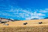 Zebras along the Pacific Coastline Prints by  Woodkern