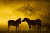 Plains Zebra at Sunset, Moremi Game Reserve, Botswana Photographic Print by Paul Souders