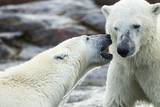 Polar Bears Sparring on Harbour Islands, Hudson Bay, Nunavut, Canada Photographic Print by Paul Souders