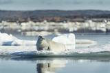 Bearded Seal on Sea Ice in Hudson Bay, Nunavut, Canada Photographic Print by Paul Souders