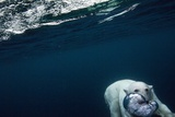 Underwater Polar Bear near Frozen Strait, Nunavut, Canada Photographic Print by Paul Souders