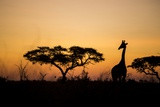 Giraffe at Dusk, Chobe National Park, Botswana Photographic Print by Paul Souders
