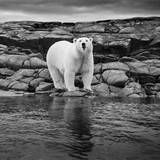 Polar Bear on Harbour Islands, Hudson Bay, Nunavut, Canada Papier Photo par Paul Souders