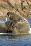 Walrus and Calf in Hudson Bay, Nunavut, Canada Photographic Print by Paul Souders