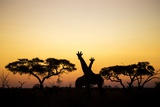 Giraffes at Dusk, Chobe National Park, Botswana Photographic Print by Paul Souders