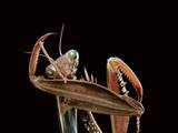 Mantis Religiosa (Praying Mantis) - Cleaning Itself Photographic Print by Paul Starosta