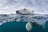 Underwater Polar Bear by Harbour Islands, Nunavut, Canada Reproduction photographique par Paul Souders