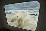 Polar Bear Looking into Boat Window, Nunavut, Canada Photographic Print by Paul Souders