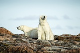 Polar Bears Resting on Harbour Islands, Hudson Bay, Nunavut, Canada Photographic Print by Paul Souders