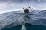 Polar Bear, Nunavut Territory, Canada Photographic Print by Paul Souders