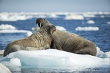 Walrus and Calf Resting on Ice in Hudson Bay, Nunavut, Canada Photographic Print by Paul Souders