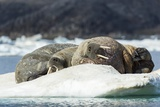 Walrus Sleeping on Ice in Hudson Bay, Nunavut, Canada Photographic Print by Paul Souders