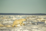Polar Bear on Pack Ice, Hudson Bay, Nunavut, Canada Photographic Print by Paul Souders