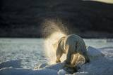 Polar Bear on Iceberg in Hudson Bay, Nunavut, Canada Photographic Print by Paul Souders