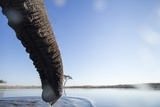 African Elephant's Trunk, Chobe National Park, Botswana Photographic Print by Paul Souders