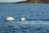 Polar Bear Cubs Swimming, Hudson Bay, Nunavut, Canada Photographic Print by Paul Souders