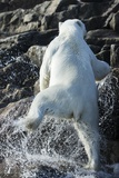Polar Bear on Harbour Islands, Nunavut, Canada Photographic Print by Paul Souders