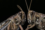 Schistocerca Gregaria (Desert Locust) - Portrait Photographic Print by Paul Starosta