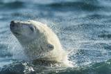 Polar Bear Swimming in Hudson Bay, Nunavut, Canada Photographic Print by Paul Souders