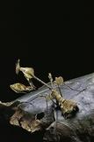 Gongylus Gongylodes (Wandering Violin Mantis) Photographic Print by Paul Starosta