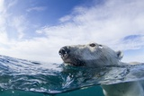 Underwater Polar Bear near Frozen Strait, Nunavut, Canada Photographic Print by Paul Souders